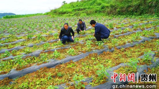杨兰英(左)和驻村干部在辣椒基地除草。