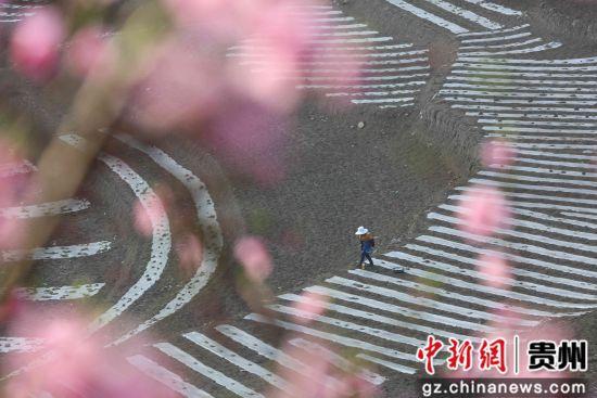 6月19日,在贵州省毕节市大方县对江镇石桅村,村民正在采收早熟的玉米。