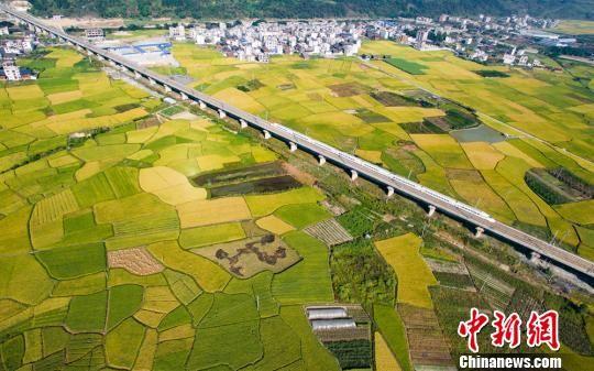 一列动车行驶在榕江县金黄的稻田间。 贺俊怡 摄