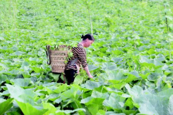 """织金县八步街道利民村,皂角地套种南瓜,""""以短养长""""促发展。 郭力艳 摄"""