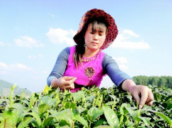 石阡县大屯村村民采摘茶叶。