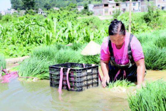 普定县黄桶街道后寨村香葱基地务工人员在洗葱。