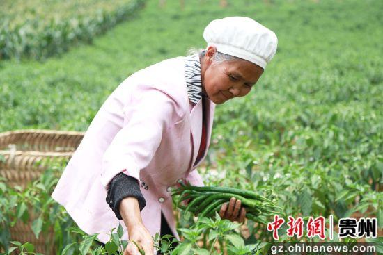 2019年7月3日,贵州省毕节市黔西县协和镇爱国村种植的辣椒。