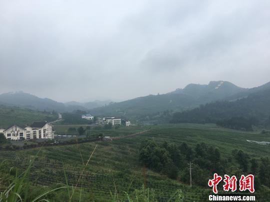 图为麻江县蓝莓种植基地。 刘鹏 摄