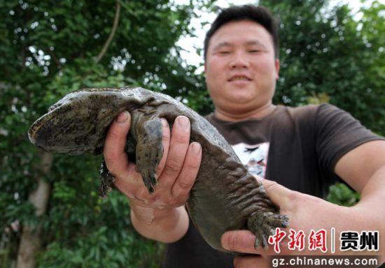 2019年7月3日晚,贵州省毕节市黔西县洪水镇洪箐村村民韩龙在洪水镇境内逢水河段误捉到一条娃娃鱼。