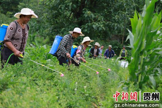 7月4日,贵州省毕节市黔西县红林乡瓦房村民在田间管理魔芋。