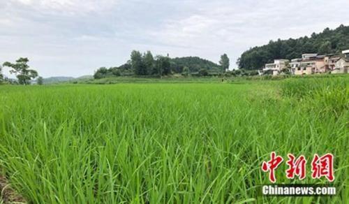 白水大米种植区。 郭梦媛 摄