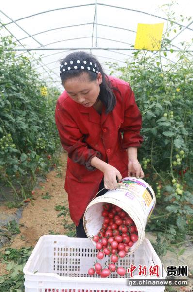 贵州省毕节市黔西县中建乡民主村圣女果种植基地,村民在搬运圣女果。