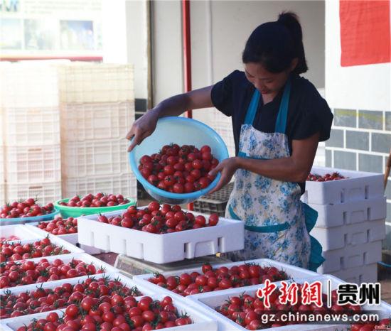 贵州省毕节市黔西县中建乡民主村圣女果种植基地,村民在称重圣女果。