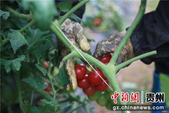 贵州省毕节市黔西县中建乡民主村圣女果种植基地,村民正在采摘圣女果。