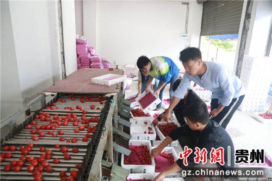 贵州省毕节市黔西县中建乡民主村圣女果种植基地,技术人员在指导村民分分拣圣女果。
