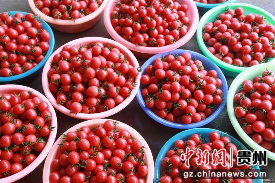贵州省毕节市黔西县中建乡民主村圣女果种植基地清洗好的圣女果。