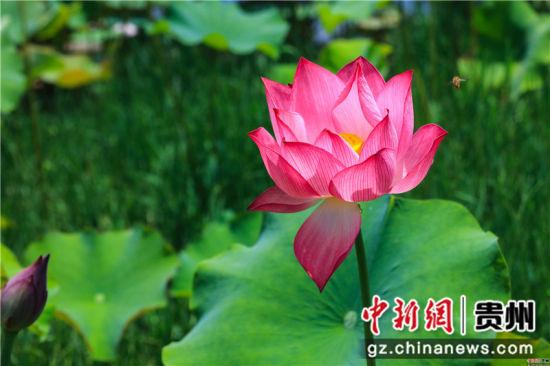 图为贵州省毕节市黔西县雨朵镇扯泥村盛开的荷花。 周训超 摄
