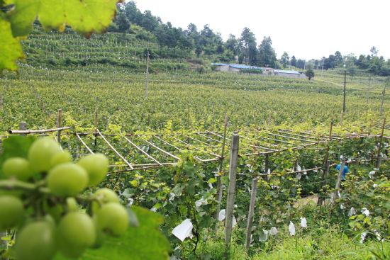 贵州省毕节市黔西县太来乡独山村葡萄种植基地。陈龙 摄