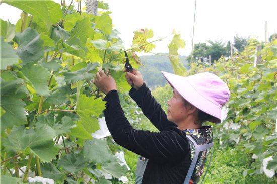 贵州省毕节市黔西县太来乡独山村葡萄种植基地上,村民在给葡萄修枝。