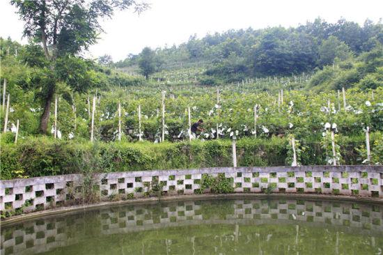 贵州省毕节市黔西县太来乡独山村葡萄种植基地上,管理人员在查看葡萄生长情况。
