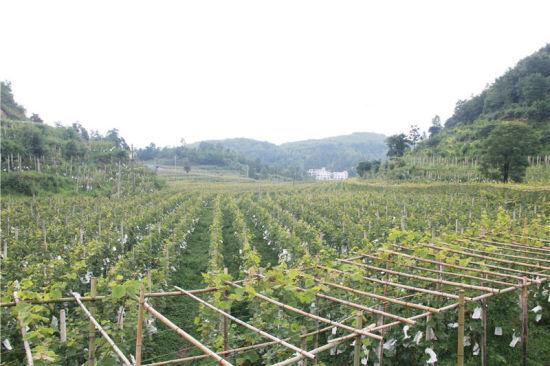 贵州省毕节市黔西县太来乡独山村葡萄种植基地上种植的葡萄满山遍野。