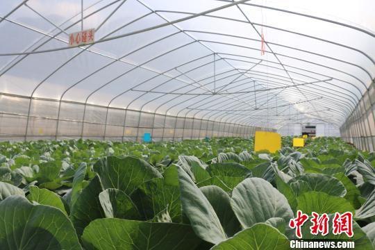恒大集团援建大方县幸福二村配套产业蔬菜大棚基地。瞿宏伦 摄