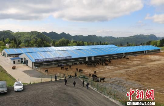 恒大集团援建大方县纯种安格斯牛第一育种场。瞿宏伦 摄