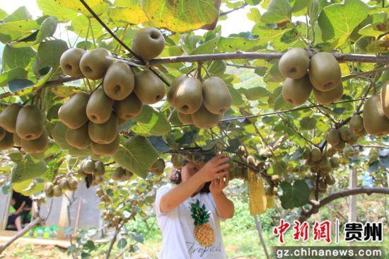 贵州水城:猕猴桃产业 走出农旅文深度融合之路
