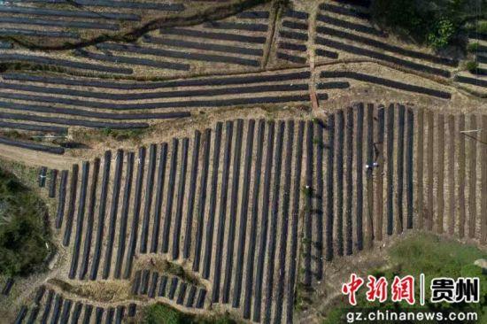 2016年,37岁的贵州省毕节市黔西县永�鱿缟嘲哟宕迕裰旖�在江苏自费学习蚯蚓养殖技术后,前往毕节市织金县鸡场乡发展生态蚯蚓订单养殖获得成功。