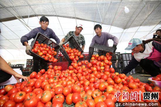 恒大在毕节援建的蔬菜产业基地喜获丰收