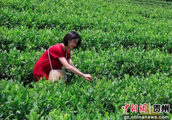 台中广播公司节目部组长刘淑雯尝试手工采茶。