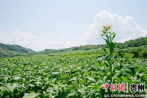 绿油油的新鲜烟叶在土地里生长着。
