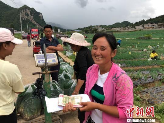 图为赫章县松林坡乡香葱基地里农户采摘香葱。 张伟 摄