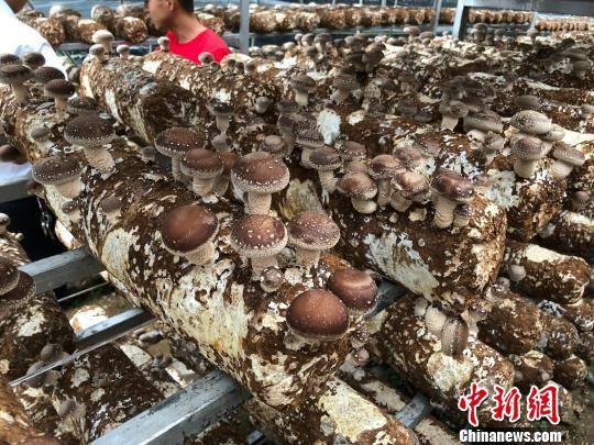 """图为赫章县结构乡的""""云上蘑菇""""。 张伟 摄"""
