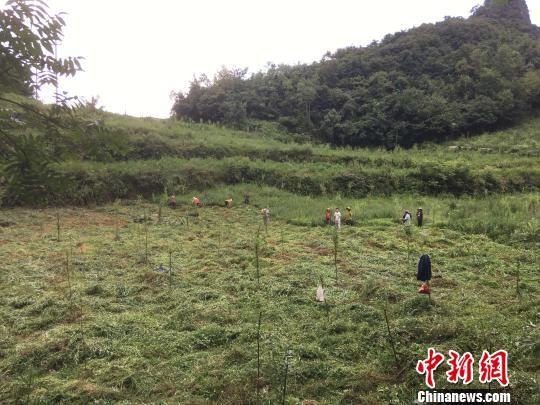 贵州同威生物科技有限公司天麻种植基地。 周娴 摄