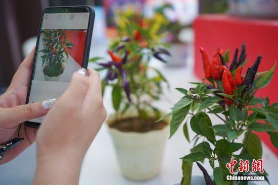 辣博会上展出的辣椒吸引观众拍照。中新社记者 贺俊怡 摄