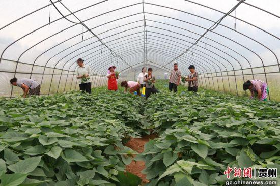 工人们在大棚里忙着采收成熟的台湾红薯尖