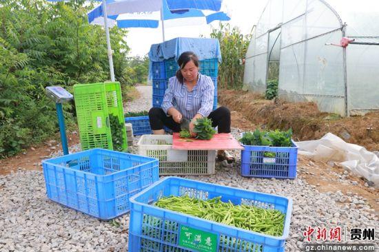 工人正在对刚采收的新鲜台湾红薯尖切杆、装箱、称重