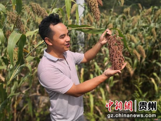 黔西县定新乡村民在查看高粱的籽粒饱满度