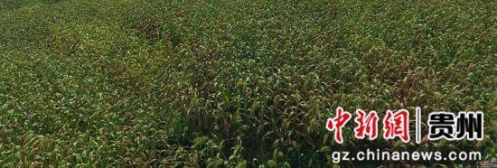 黔西县定新乡高粱种植基地