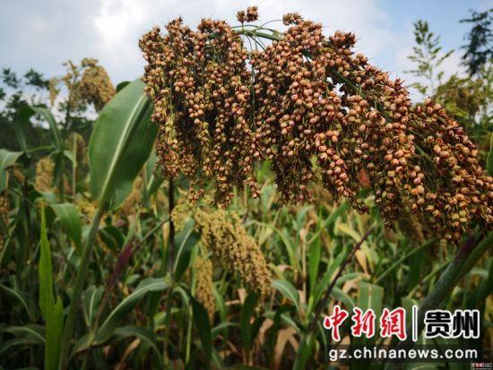 黔西县定新乡种植的高粱长势喜人