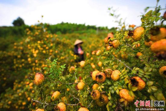 刺梨种植户在采收刺梨果。
