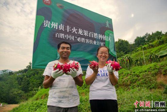 贵州民众采摘火龙果