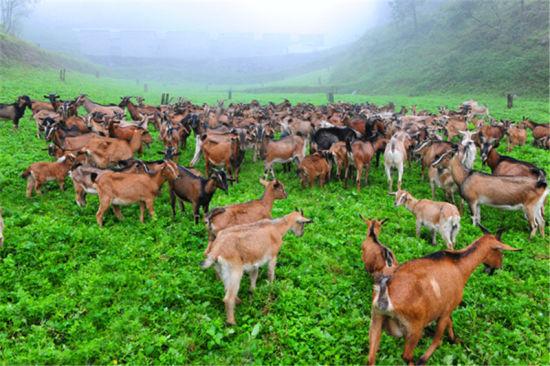 黔北麻羊 周东亚摄