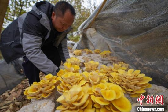在贵州省望谟县平洞街道洛郎村万亩板栗高产示范园内,村民杨昌宏在管护食用菌。 贺俊怡 摄