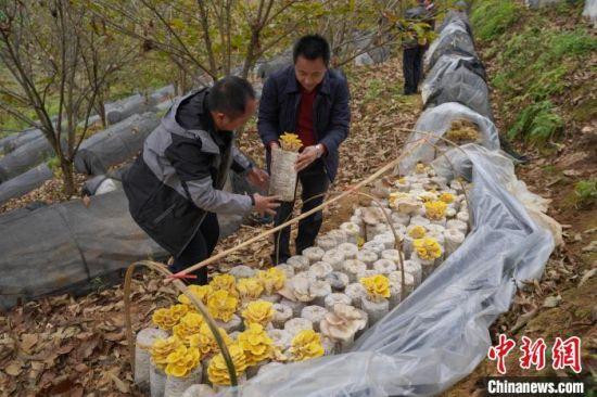 在贵州省望谟县平洞街道洛郎村万亩板栗高产示范园内,村民杨昌宏(左)与街道办干部在管护食用菌。 贺俊怡 摄