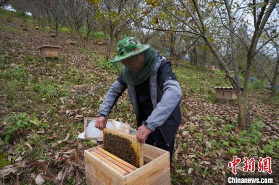 洛郎村民在万亩板栗高产示范园内查看蜜蜂生长情况。 贺俊怡 摄