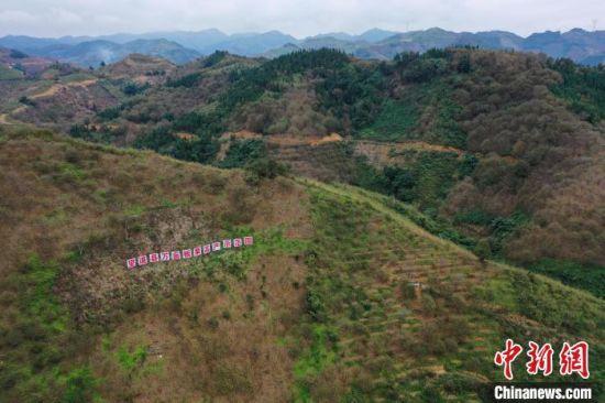 航拍贵州省望谟县平洞街道洛郎村万亩板栗高产示范园。 贺俊怡 摄