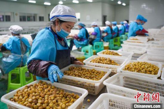 村民王汉江在贵州省望谟县一家板栗加工厂内工作,当地村民在板栗收成后到板栗加工企业上班,每个月三千元左右的收入。 贺俊怡 摄